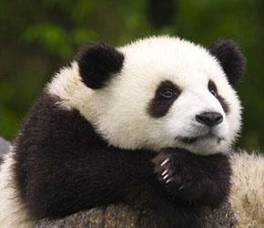 panda-thought